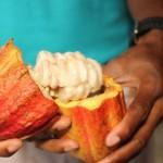 Kakaofrukten